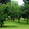 image plateau_miango_orchard_underhiswings-jpg